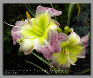 greyeyezone 300x251 Gray to Grey Daylily Blog