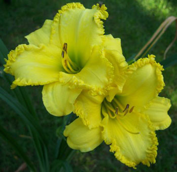 jacklooye Forestlake Ragamuffin, Part 11, A Daylily Teeth Blog