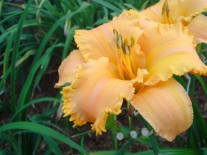 CrownOfCreation a 300x225 Brother Charles Reckamp, Dave Mussar on the Daylily Teeth Blog, Part 2