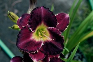 Midnight Dazzle1 300x202 Brother Charles Reckamp, Dave Mussar on the Daylily Teeth Blog, Part 3