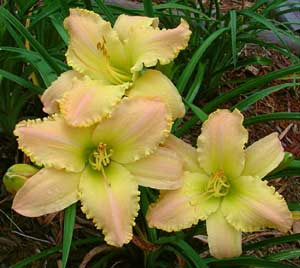 MySunshineMultiBloom1 Brother Charles Reckamp, Dave Mussar on the Daylily Teeth Blog