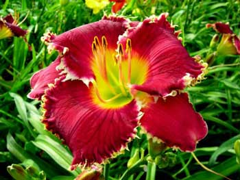 RandyStephens FORTUNES DEAREST Part 2  Mort Morss on the Daylily Teeth Blog