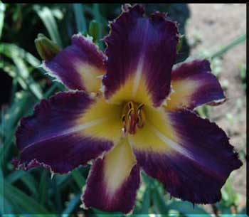 purple badger FORTUNES DEAREST Part 5  Mort Morss on the Daylily Teeth Blog