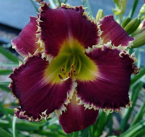 Venus FLYTRAPb Teeth Daylilies: What are they and what do they look like?