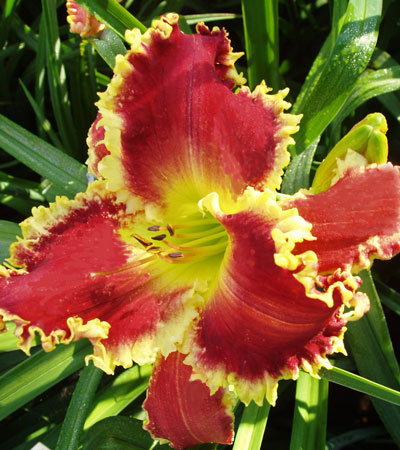 9T209A HHTY x Red Friday 2 More on Alan Lane Agin and Red Friday on the Daylily Teeth Blog