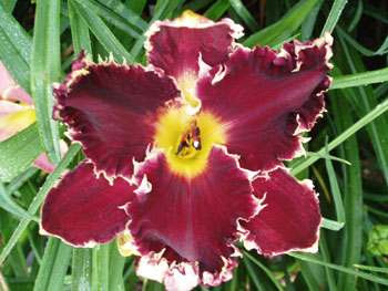 9T210 HHTY x Storm of Swords 7 6 11 B001 RED FRIDAY <> ALAN LANE AGIN <> HAPPY HOILDAYS TO YOU kids on the daylily teeth blog