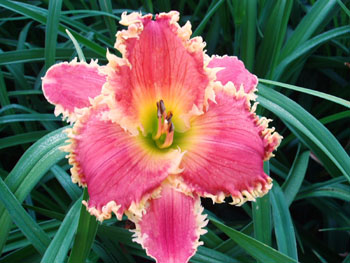 9T223A Horny Devil x Red Friday 6 29 11 B001 RED FRIDAY <> ALAN LANE AGIN <> HAPPY HOILDAYS TO YOU kids on the daylily teeth blog