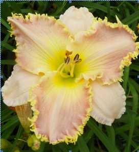 ANNETES MAGIC x SEE ME SEE ME FEEL ME TOUCH ME , a top teeth daylily 2003 2008, Mike Holmes