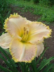 SMe x AMg 13 225x3001 SEE ME FEEL ME TOUCH ME , a top teeth daylily 2003 2008, Mike Holmes