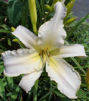 Stardust Dragon SEE ME FEEL ME TOUCH ME , a top teeth daylily 2003 2008, Mike Holmes