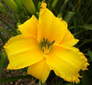 golden glitz 300x2801 REAP THE WHIRLWIND, On the Daylily Teeth Blog