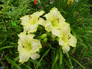 see meclump SEE ME FEEL ME TOUCH ME , a top teeth daylily 2003 2008, Mike Holmes