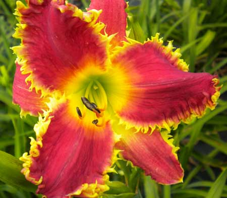 tooth seedling2 Top Teeth Daylily in a five year period 2003 2008 by Mike Holmes on the Daylily Teeth Blog